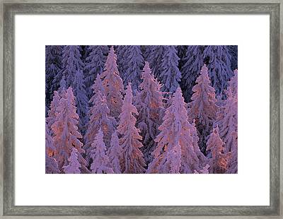 Snow Blanketed Fir Trees In Germanys Framed Print by Norbert Rosing