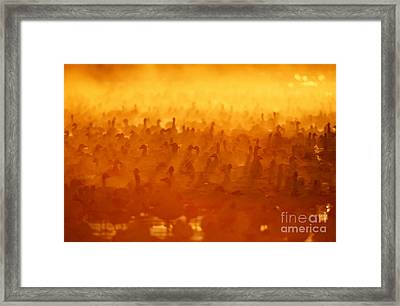 Snow Geese At Sunrise Framed Print by Craig K Lorenz and Photo Researchers