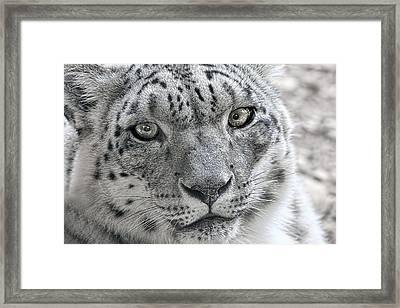 Snow Leopard Wild Cat Eyes Framed Print by Tracie Kaska