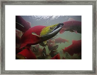Sockeye Salmon Find Their Way Framed Print by Michael Melford