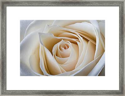 Soft Creamy Rose Framed Print by Clare Bambers