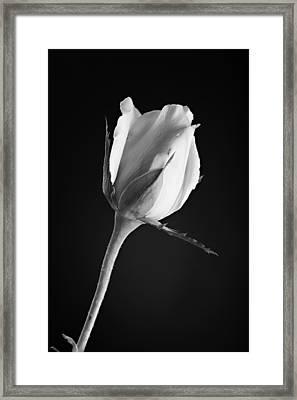 Soft Rose Black And White Framed Print by M K  Miller