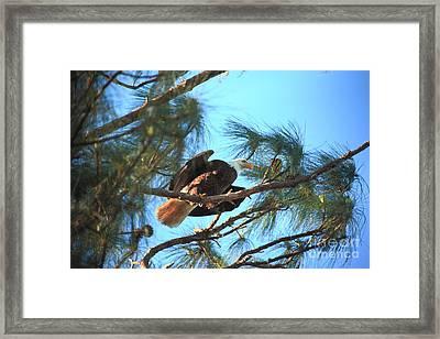 Southern Bald Eagle Framed Print by Randy Matthews