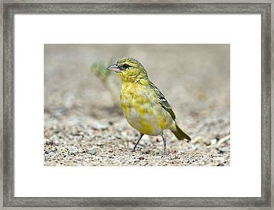 Southern Masked Weaver Framed Print by Peter Chadwick