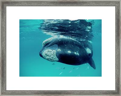 Southern Right Whale Eubalaena Framed Print by Mike Parry