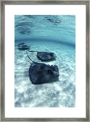 Southern Stingrays Framed Print by Georgette Douwma