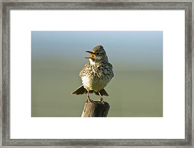Southern Thick-billed Lark Framed Print by Peter Chadwick