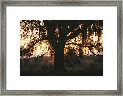Spanish Moss Draped, Silhouetted Oak Framed Print by Raymond Gehman