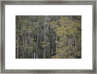 Spanish Moss-draped Trees In Alabama Framed Print by Medford Taylor