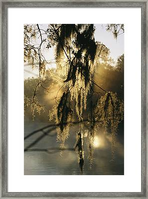 Spanish Moss Hanging From A Tree Branch Framed Print by Medford Taylor