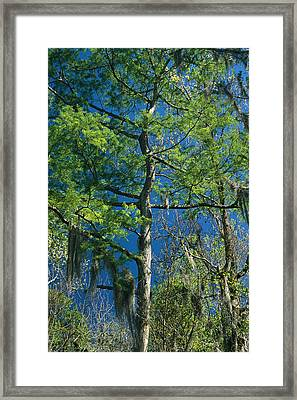 Spanish Moss Hangs From The Branches Framed Print by Raymond Gehman