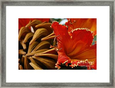 Spathodea Campanulata - African Tulip Tree - Flame Of The Forest Framed Print by Sharon Mau