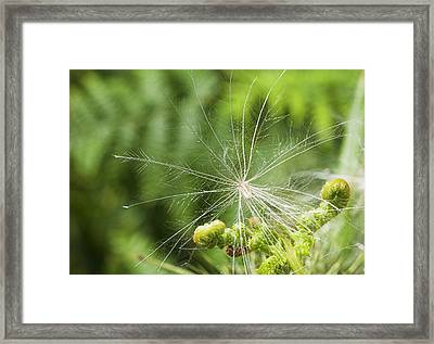 Spear Thistle Seed (cirsium Vulgare) Framed Print by Duncan Shaw