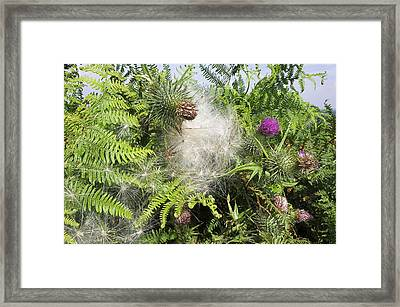Spear Thistle Seeds (cirsium Vulgare) Framed Print by Duncan Shaw