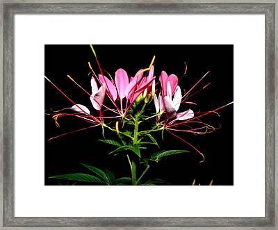 Spider Flower  Framed Print by Kim Galluzzo Wozniak