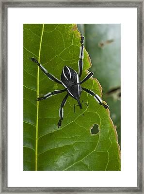 Spider Weevil Papua New Guinea Framed Print by Piotr Naskrecki