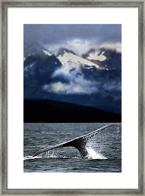 Splash From Tail Of Humpback Whale Framed Print by Richard Wear