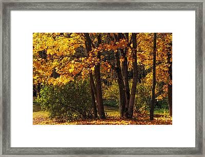 Splendor Of Autumn. Maples In Golden Dresses Framed Print by Jenny Rainbow