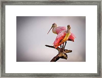 Spoonbills Framed Print by Debra and Dave Vanderlaan