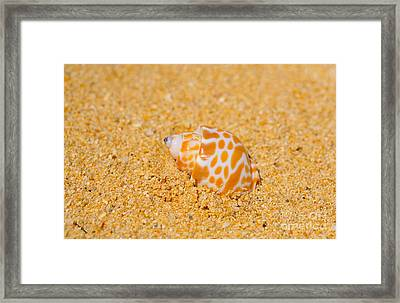 Spotted Babylon Shell Framed Print by Cheryl Young