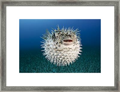 Spotted Porcupinefish IIi Framed Print by Dave Fleetham