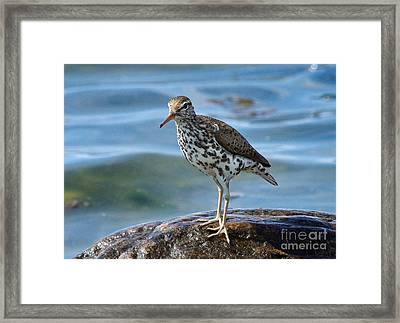 Spotted Sand Piper 6 Framed Print by Andrea Kollo