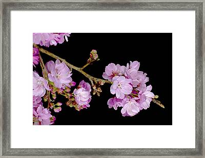 Spring Cherry Blossoms 2 Framed Print by Barnaby Chambers