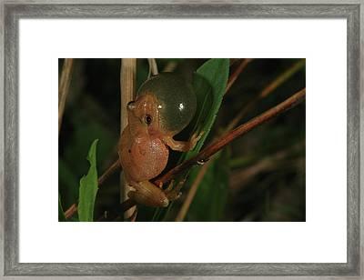 Spring Peeper Framed Print by Bruce J Robinson