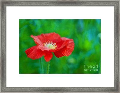 Spring Poppy Framed Print by Darren Fisher