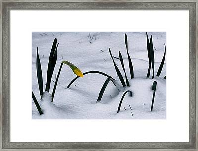 Spring Snow Coats The Daffodils Framed Print by George F. Mobley
