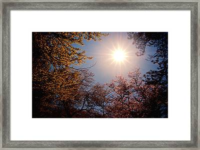 Spring Sunlight Over Cherry Blossoms  Framed Print by Vivienne Gucwa