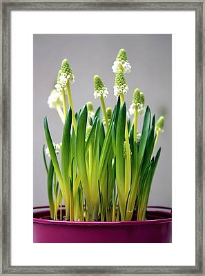 Spring White Flowers Framed Print by © Fanny BETEMPS - 2010