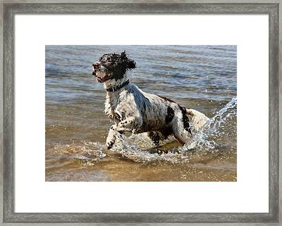 Springer Spaniel Framed Print by Julie L Hoddinott