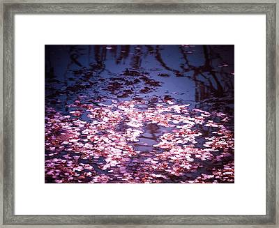 Spring's Embers - Cherry Blossom Petals On The Surface Of A Pond Framed Print by Vivienne Gucwa