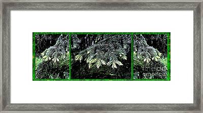 Spruce Framed Print by Ron Bissett