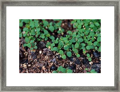 St. Johns Wort Framed Print by Science Source