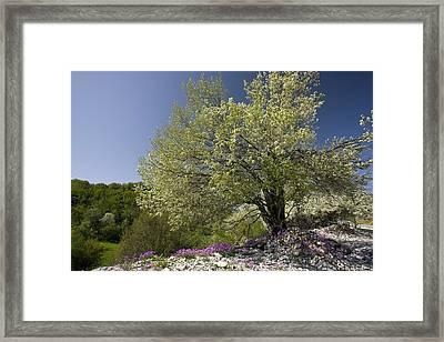 St Lucie Cherry Tree (prunus Mahaleb) Framed Print by Bob Gibbons
