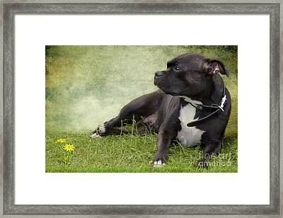 Staffie Dog On Grass Framed Print by Ethiriel  Photography