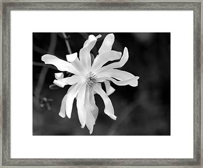 Star Magnolia Framed Print by Lisa Phillips