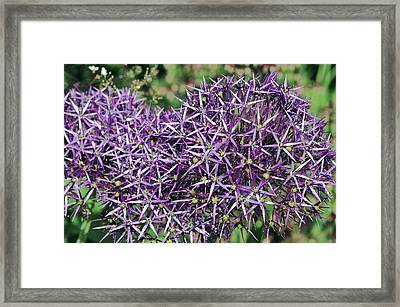 Star Of Persia (allium Cristophii) Framed Print by Colin Varndell