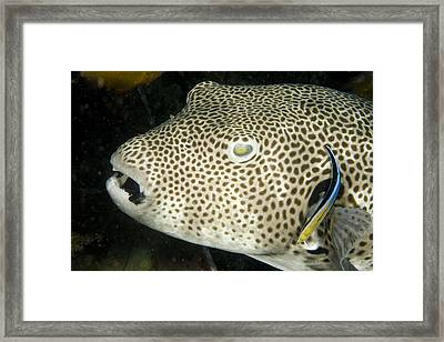 Star Puffer Fish Being Cleaned Framed Print by Tim Laman