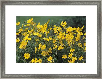 Star Tickseed Flowers Framed Print by Adrian Thomas