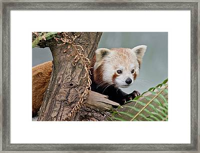 Stealthy Red Panda Framed Print by Greg Nyquist