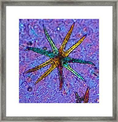 Stellate Plant Hair, Light Micrograph Framed Print by Dr Keith Wheeler