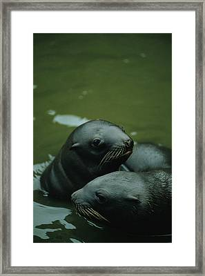 Steller Sea Lion Pups Eumetopias Framed Print by Joel Sartore