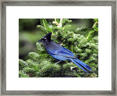 Stellers Jay Framed Print by Sharon Talson