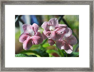 Streptocarpus In The Window Framed Print by Terence Davis