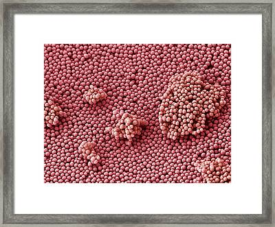 Streptococcus Bacteria, Sem Framed Print by Steve Gschmeissner