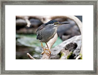 Striated Heron Framed Print by Fabrizio Troiani
