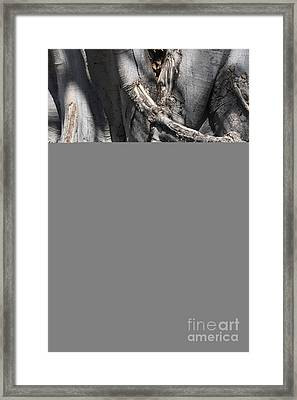 Resilient Roots On Fig Tree Framed Print by Carol Groenen